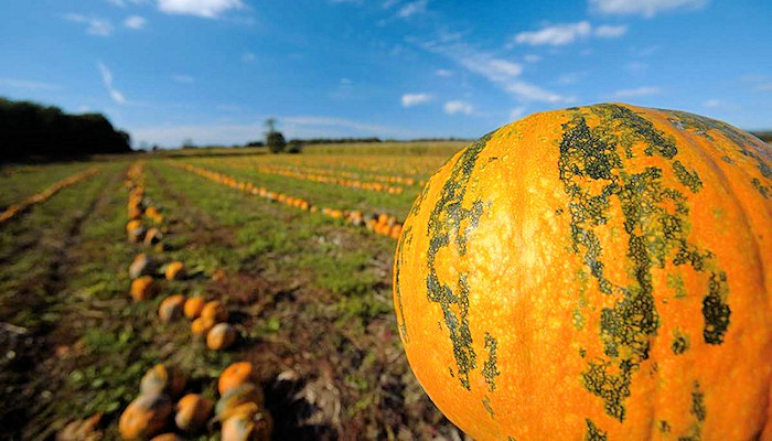 Pumpkins to make Styrian pumpkin seed oil